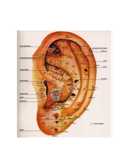 Lámina Topografía Auricular (Organos)